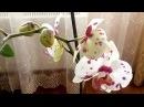 ОРХИДЕЯ ФАЛЕНОПСИС Новая орхидея ошалела от моей заботы