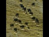 200 000 caribou migrate