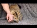 Вот такое ласковое😸 чудо 🐈 можно приобрести в нашем питомнике 💕❤ Зайка Малый Лев длинношерстный шотландский котик