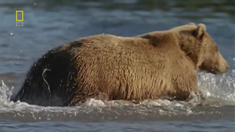 Дикая природа России 2 серия - КАМЧАТКА (8)