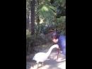 Абхазская лебедь Ксюша здоровается