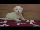 Raw White Lion Cub Debuts at Serbia Zoo