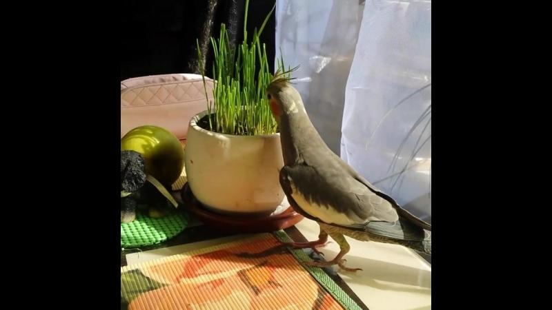 наш корелл Рикки
