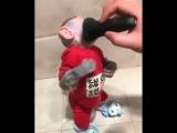 Latino barbeia macaco de cheiro e se revela um barbeiro colossal!