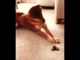 Как сломать собаку :) как ваши домашние питомцы реагируют на спиннер?