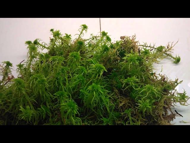 Для чего нужен мох сфагнум и где его можно найти