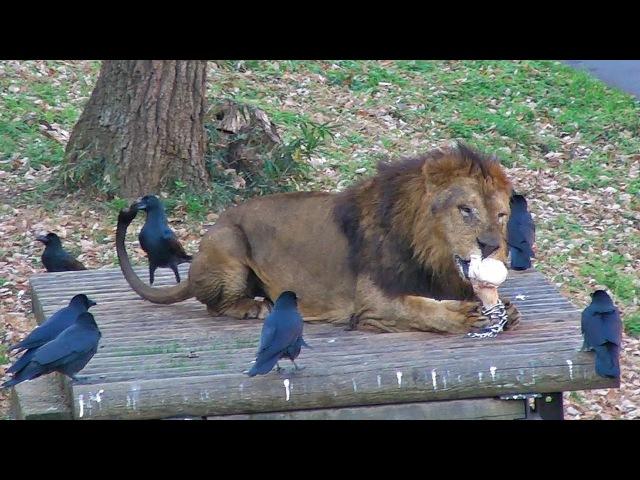 Лев и черные вороны