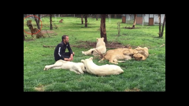 Dogs, Lions, Tigers, Black Jaguars, Leopards, Panthers, Lynxes, Pumas and more Playing