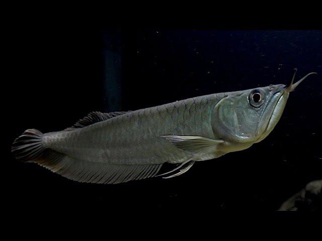 Мой аквариум на 500 литров и его обитатели.Арована,цихлазома Дови, Псевдоплатистома.