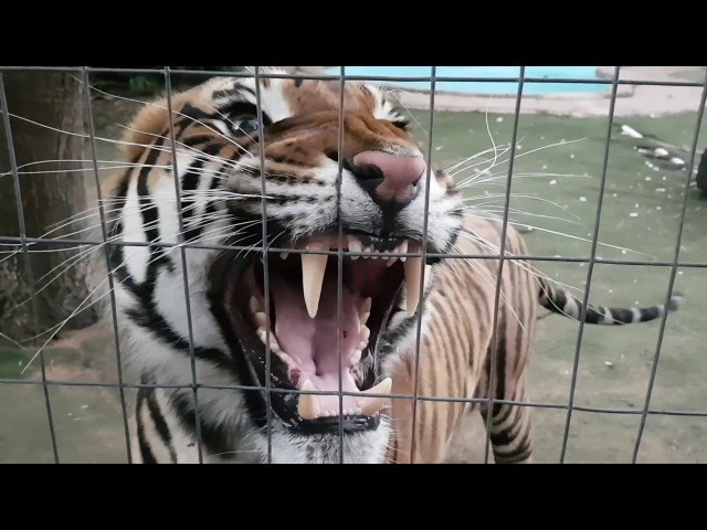 Earphone users hear the sound of this tiger