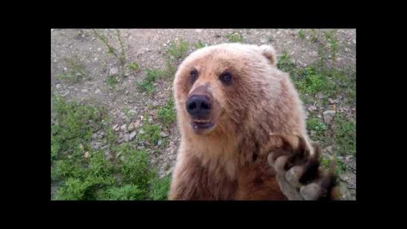 медведица пришла в гости покушать - 7.Камчатка,Россия(bear came to visit out - 7.Kamchatka, Russia)