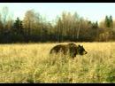 Медвежья осень Познавательный фильм для детей