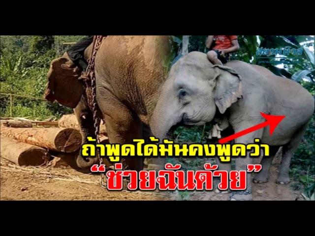 ช่วยฉันด้วย! วอนไถ่ชีวิต หน่อโพ ช้างลาก