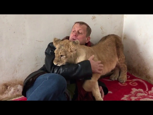 Обнимашки львёнка Зары и Олега Зубкова. Тайган. Крым