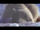 Охота на охотника Атака в Заполярье. Белый медведь нападения на людей и их предупреждения об опасности!