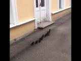 Утята вместе с мамой идут на завтрак в Петергофе