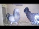 николаевские голуби.