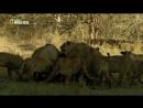 Кровная вражда Лев против буйвола Документальный природа животные 2014