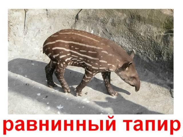 Животные непарнокопытные, мозоленогие, хоботные