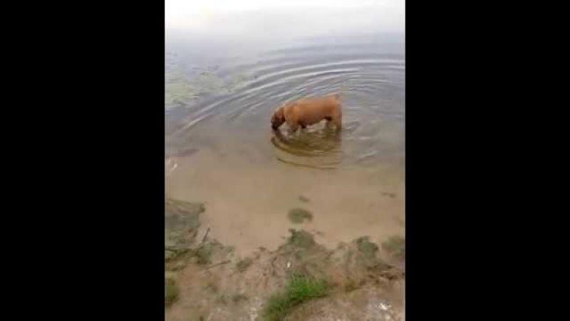 Джесси. Собака любит гулять по воде. Jessie.