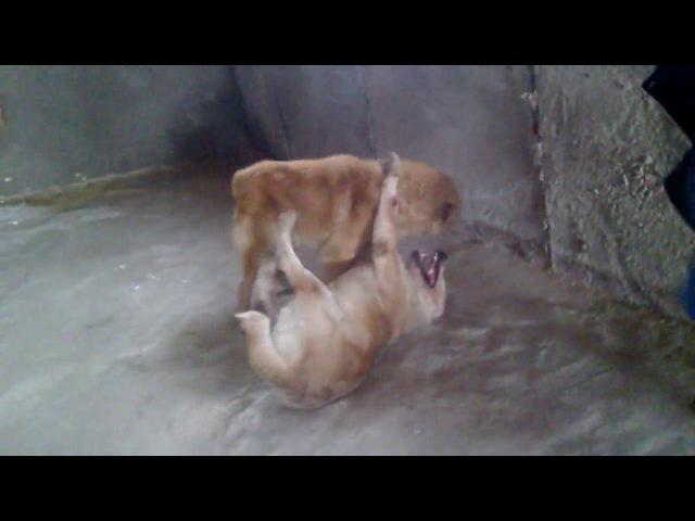 бой собак алабаев в городе сибай №21