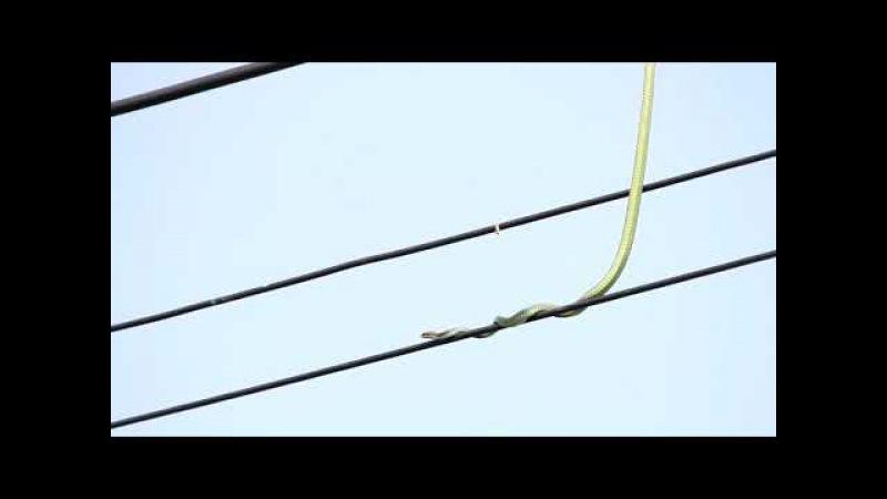 Yılan elektrik dağıtım şirketinde işe girmiş..