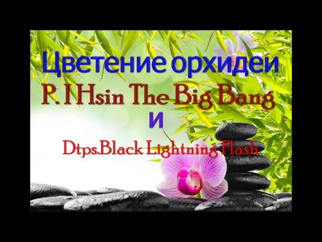 Зацвел Big Bang. Азиатские орхидеи.P. I Hsin The Big Bang . Dtps Black Lightning Flash