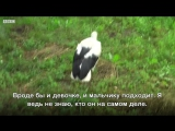 Украинский домашний аист