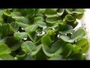 Плавающие аквариумные растения Часть 1 Сальвиния плавающая Ряска малая Риччия