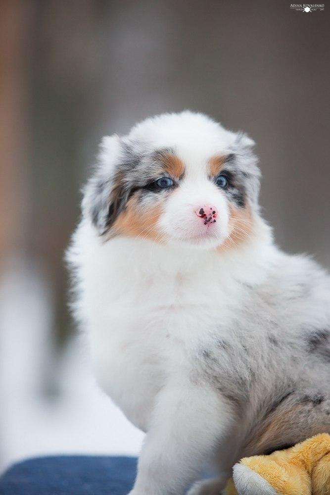 Питомник Триплмун, свободные щенки Id-TSHEM83w