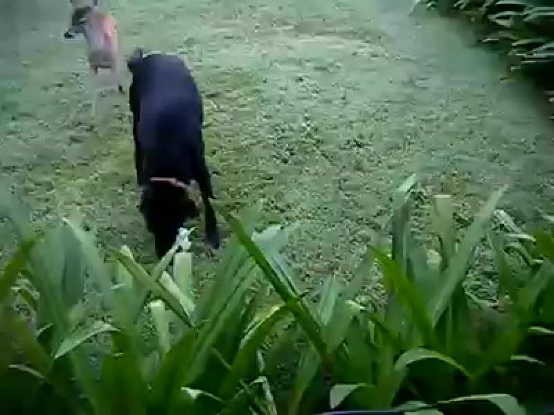 Собака и косуля