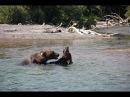 Камчатка Медведи дурачатся и ловят рыбу в 10 метрах. Курильское озеро
