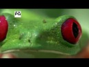 Удивительные лягушки (Fabulous Frogs) PBS (2014)