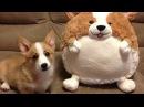 Funny Corgi Compilation 2017 - Best Of Funny Corgi Videos Ever