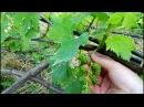 Выращивание плодоносного куста винограда из косточки