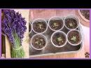Пикирую лаванду Lavender planting ✽ сею лобулярию колеусы и другие цветы ✽ позитив ✌