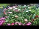 Эффектный однолетник Мезембриантемум выращивание из семян