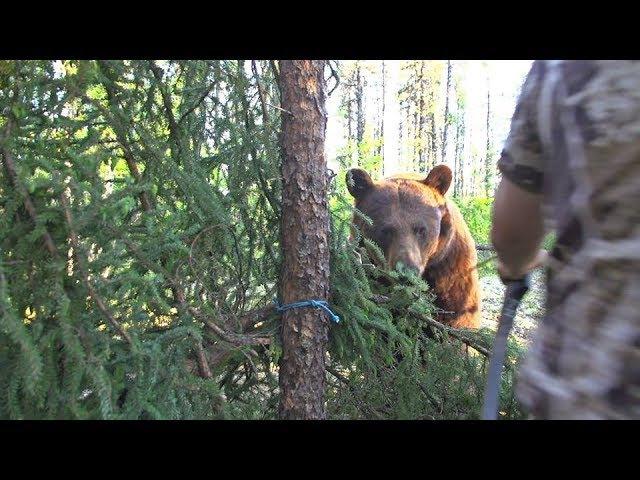 Big bear bumps into traditional archer's arrow