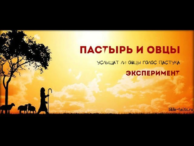 Услышат ли овцы голос пастуха. Эксперимент