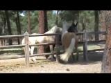 Эксклюзив! Андалузский жеребец соловой масти! Сказочно красивая лошадь! 2013 г.р. 164 см в холке.