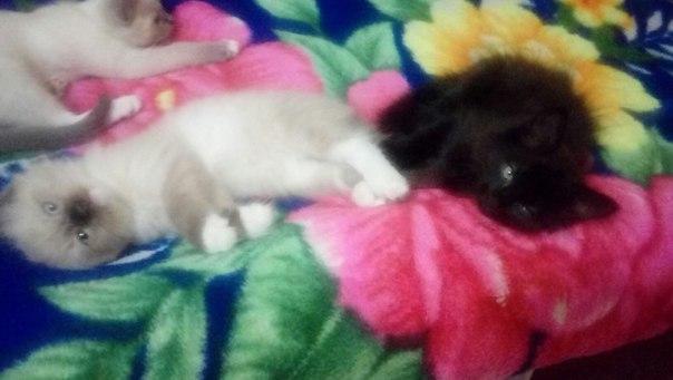 ‼Срочно‼ Котятам нужен дом и любимый хозяин. Котятам 2 месяца. 2 Беле