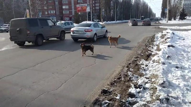 В Курске агрессивные собачьи своры грызутся прямо посреди проезжей части