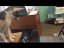 Кошка Няша против кота Киры Бокс Кошки корниш рекс