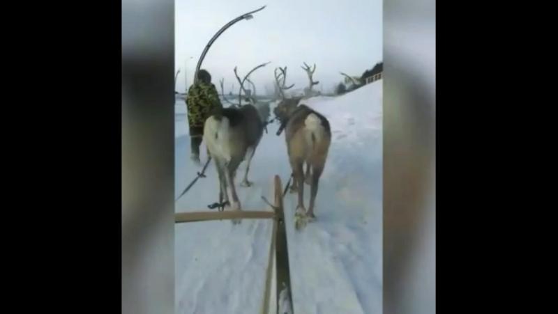 Мы поедем мы помчимся на оленях утром ранним 🦌🛷