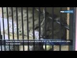 Покалеченный детеныш пумы бегает на трех лапах