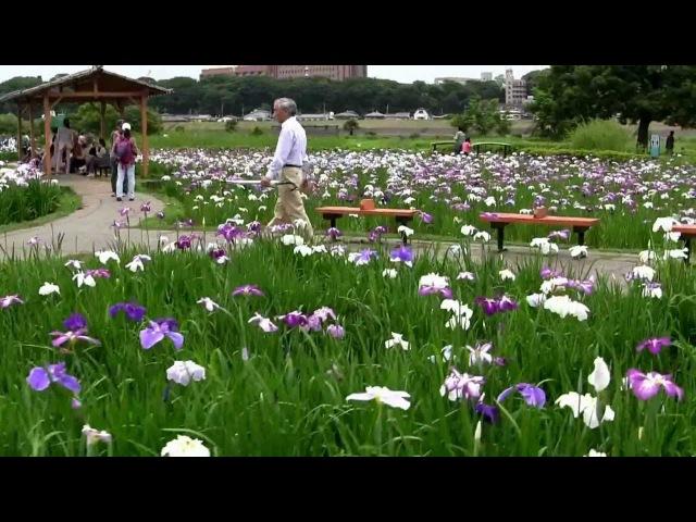 Lovely Iris Flowers Garden in Ichikawa Tokyo Japan Iris plant