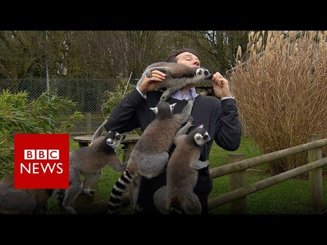 BBC reporter mobbed by lemurs BBC News