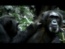 Обезьяны на тропе войны Discovery Channel j,tpmzys yf nhjgt djqys discovery channel