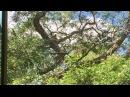 Pomba Troncal: no Jacarandá. Tiguera 360. JF, MG, Brasil. IMG_3654. 32,4 MB. 09h55. 01out17