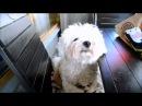 Бишон Фризе Чейз Начало обучения фрисби Трюки Dog Tricks bichon frise Cheiz
